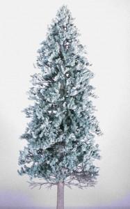 Blue Spruce 187x300