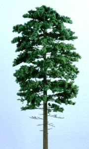 White Pine new 180x300